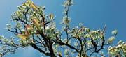 Zurzeit entfalten sich die Blüten der Apfelbäume. (Bild: Donato Caspari)