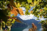 Herbstblätter und im Hintergrund der Urnersee. (Bild: KEYSTONE)