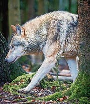 Wolf im Tierpark Bruderhaus in Winterthur. (Bild: Benjamin Manser)