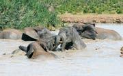 Elefanten baden in einem künstlich angelegten Wasserloch im Addo Elephant Park in Südafrika. (Bild: Juliette Irmer)