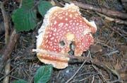 Der Fliegenpilz ist giftig für Menschen. Man sollte ihn trotzdem stehen lassen; in dessen Nähe wachsen oft Steinpilze. (Bild: Margrith Widmer)
