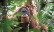 Zu 97 Prozent die gleichen Gene wie der Mensch: der neu entdeckte Tapanuli-Orang-Utan (Bild: Andrew Walmsley)