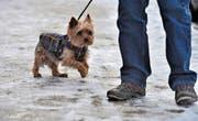 Kleinere Hunde brauchen einen Kälteschutz. (Bild: Susann Basler)
