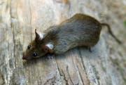 Ratten bekommen mehrmals pro Jahr Junge - im Durchschnitt sind es 7 bis 9 pro Wurf. (Bild: Keystone)