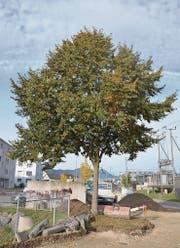 Die an die Gründung der Gemeinde erinnernde Linde würde die Bauarbeiten an der Wallenwilerstrasse nicht überleben. (Bild: PD)