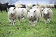 Vier der irrtümlicherweise erschossenen Schafe starben sofort, drei weitere mussten aufgrund ihrer Verletzungen notgeschlachtet werden. (Bild: pd/Symbolbild)