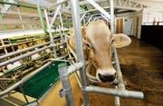 Im Stall am Standort Tänikon stehen Nutztiere im Zentrum der Forschung. (Bild: Donato Caspari)