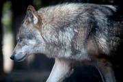 Der Wolf M75 ist nun auch in Appenzell Ausserrhoden nicht mehr sicher. (Symbolbild) (Bild: Benjamin Manser)