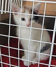 Die Katze ist etwa drei Monate alt. (Bild: zVg)