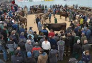 Blick auf den neugestalteten Marktplatz mit dem Vorführring, bei dem das Publikum freie Sicht auf die Tiere geniesst. (Bilder: Adi Lippuner)