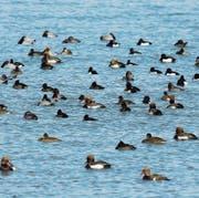 Wintergäste: Wasservögel auf dem Bodensee. (Bild: PD)