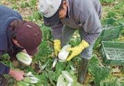 Lange Arbeitstage und wenig Lohn – für die Arbeit bei der Gemüseernte finden sich keine Schweizer Mitarbeiter. (Bild: Susanne Basler)