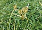Die Blüte des Erdmandelgrases. (Bild: pd)