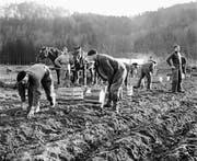 Polnische Internierte arbeiteten häufig in der Landwirtschaft, wie hier 1942 bei der Kartoffelernte in Weinfelden. (Archivbild: Key)