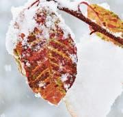 Schön und vergänglich, ein Trauben-Kirschenblatt im ersten Schnee. (Bild: Bert Stankowski)