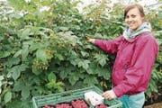Annamaria Becze erntet Himbeeren in Kesswil. Dieses Jahr hatten sie und die weiteren Erntehelfer viel zu tun mit der roten, süssen Beere. (Bild: Trudi Krieg)