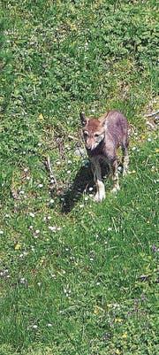 Rares Bild eines Welpen der Calanda-Wolfsfamilie. (Bilder: Peter A. Dettling)