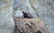 Der junge Steinadler wartet gut gebettet im Horst, bis ihm seine Eltern Futter bringen. (Bild: Herbert Maeder)