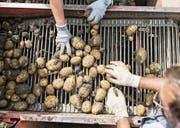 Eine heisse Kartoffel hat der Bundesrat angepackt: den Grenzschutz für Agrarprodukte. (Bild: Gaetan Bally/Keystone)