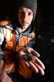 Michael Brander rettet schon nach wenigen Minuten die erste Erdkröte. (Bild: Manuel Nagel)