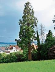 Der 36 Meter hohe Mammutbaum auf dem Areal, wo Überbauungspläne bestehen. (Bild: Max Eichenberger)