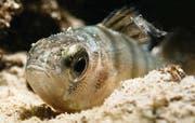Der Egli (Flussbarsch) ist einer der beliebtesten Speisefische des Bodensees; begleitet wird er auf dem Bild von einer Schwebegarnele. (Bilder: Tino Dietsche)