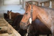 Die vom Thurgauer Hof befreiten Pferde sind im Moment bei der Armee untergebracht. (Bild: MARCEL BIERI (KEYSTONE))