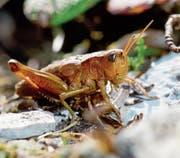 Kupferrotes Weibchen der seltenen Goldschrecke auf dem Chäserrugg. (Bild: René Güttinger)