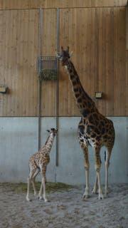 So klein und doch so gross: Das Kleine ist zwar 1,85 Meter gross, aber deutlich kleiner als seine Mutter. (Bild: pd)