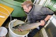 Vorsichtig legt Jörg Schweizer die über zehn Kilo schwere Seeforelle in eine Plastikwanne. (Bild: Rudolf Hirtl)