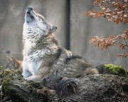 Die Mehrheit der ständerätlichen Umweltkommission will, dass der Wolf künftig ganzjährig gejagt werden darf. (Bild: Benjamin Manser)