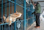 Streunende Hunde sind in Russland ein Problem – eines, das vor der Fussball-WM verschwinden soll. (Bild: Yuri Kochetko/EPA (Moskau, 13. Januar 2018))