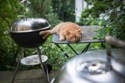 In der Region Rorschach gibt es mehrere Populationen von streunenden Katzen. (Bild: Ralph Ribi/Symbolbild)