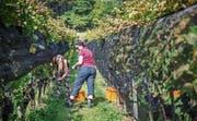 An den steilen Hängen des Thaler Buchbergs leisten auch die Frauen und Männer vom Weingut Halde bei der Wimmet Schwerstarbeit. (Bilder: Jil Lohse)