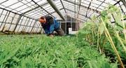 Filipp Fässler bei der Ernte von Rucola im Gewächshaus in Goldach. Zwischen das Kreuzblütengewächs hat er bereits Tomatenstöcke gepflanzt, die im Juni erntereif sein werden. (Bild: Rudolf Hirtl)