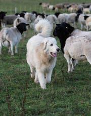 Ein Pyrenäenberghund bewacht eine Herde Schafe. (Bild: Imago)