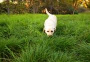 Viele Hundehalter in Herisau sind in Sorge, dass ihr Tier beim Spazieren etwas Gefährliches fressen könnte. (Symbolbild: iStockphoto)