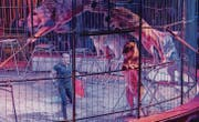 Der Dompteur Bruno Gaffo mit seinen sieben Löwen an der Premiere des Circus Royal. (Bild: Andrea Stalder)