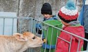 Die Kinder helfen Bauer Werner Giezendanner bei der Alltagsarbeit. Dazu gehörte auch das Kälbertränken. (Bilder: Jeannette Ringger)