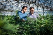Mike Toniolo (links) und Oliver Tschäppät von der Firma Medropharm begutachten die Hanfpflanzen, die sie für ihre Produkte züchten. (Bild: Reto Martin)