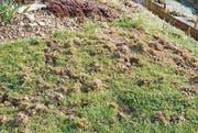 Von Dachsen aufgerissene Wiese in einem Toggenburger Garten. (Bild: Matthias Pfändler)