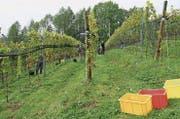 Die Trauben der 1400 Johanniter Reben im Oberen Forst in Salez wurden in dieser Woche gelesen. (Bilder: PD)