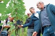 Werner Lüchinger, Willi Burkhart, Valentin Hasler und Hansruedi Wolfer begutachten die Trauben anlässlich des Rebumgangs. (Bild: Mario Testa)