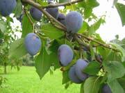 Hauszwetschgen wachsen an Hochstammbäumen und sind robust. Im Bild: Hauszwetschgen der Sorte Rudin. (Bild: Fructus)