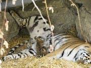 In der Nacht auf Dienstag gebar Tiger-Dame Julinka in einer Höhle der Aussenanlage des Walter Zoos drei Babys. (Bild: Walter Zoo)