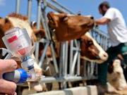 """Impfen statt töten: Sollte in der Schweiz die Tierseuche """"Lumpy skin disease"""" ausbrechen, müssen nur noch verseuchte Tiere getötet werden, wenn die Herde zuvor geimpft wurde. (Symbolbild) (Bild: Keystone/SANDRO CAMPARDO)"""