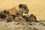Die Löwenmutter und ihre Jungen lassen sich nicht stören. (Bild: Win Schumacher)