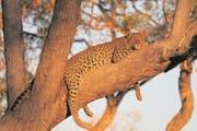 Auf dem Baum hat der Leopard seine Beute im Blick. (Bild: Win Schumacher)