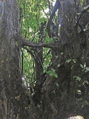 Eisenbäume gibt es praktisch nur noch in den Wäldern des Hirkan-Nationalparks. (Bild: Brigitte Schmid-Gugler)