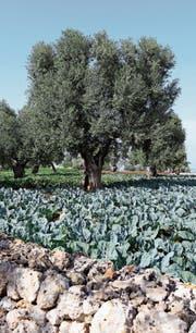 Apulien versorgt Italien mit Olivenöl, Früchten und Gemüse.